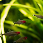 Freshwater Tropical Fish, Rummynose tetra