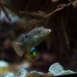 Toby pufferfish