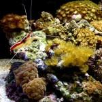Cleaner shrimp 2